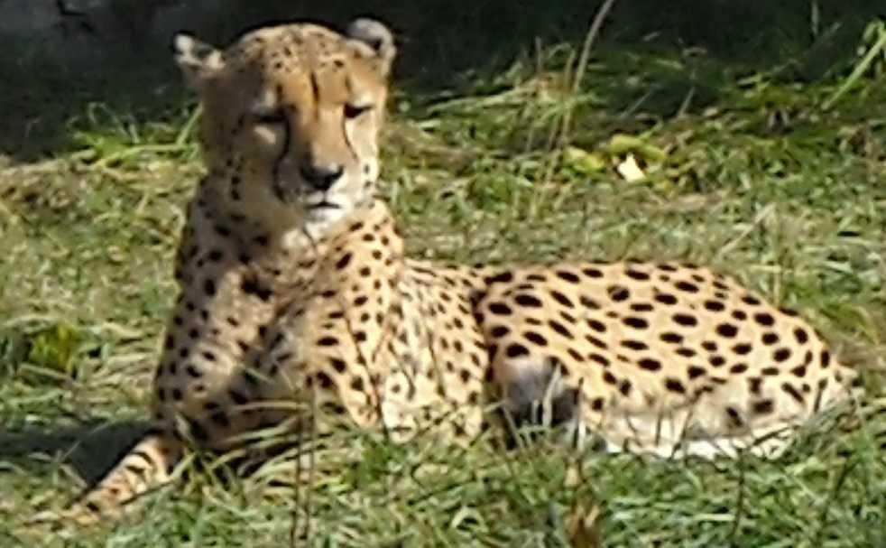 Гепард - Acinonyx jubatus  (фото 4)