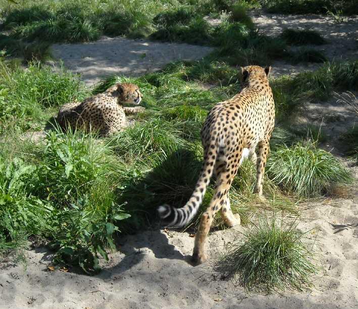 Гепард - Acinonyx jubatus  (фото 8)