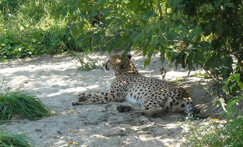 Гепард - Acinonyx jubatus  (фото 10)