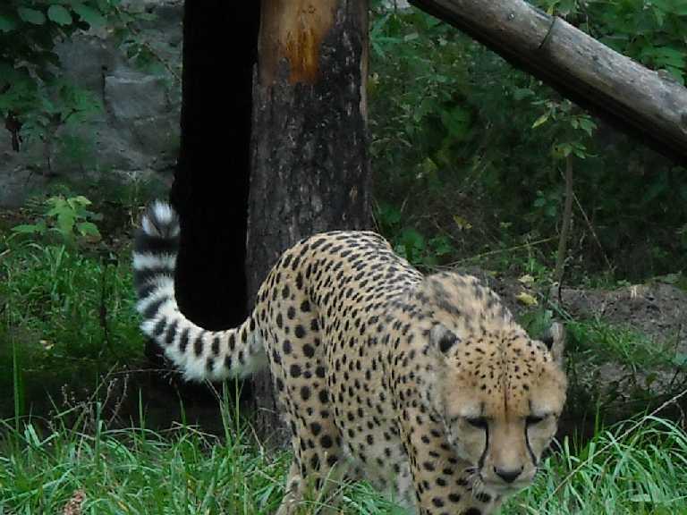 Гепард - Acinonyx jubatus  (фото 13)