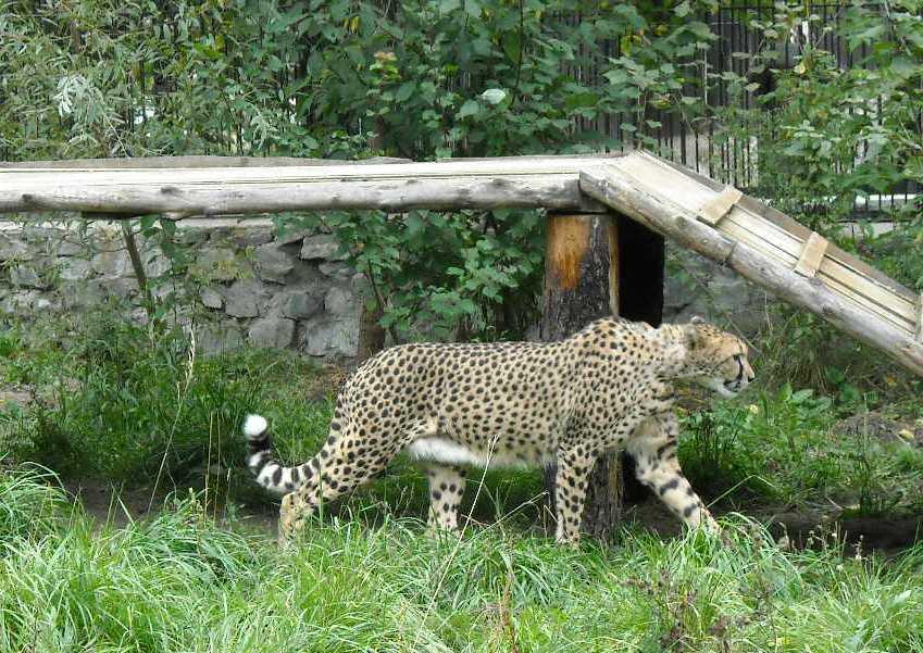 Гепард - Acinonyx jubatus  (фото 14)