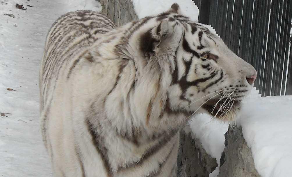Бенгальский тигр белая вариация - Panthera tigris tigris var.alba  (фото 17)