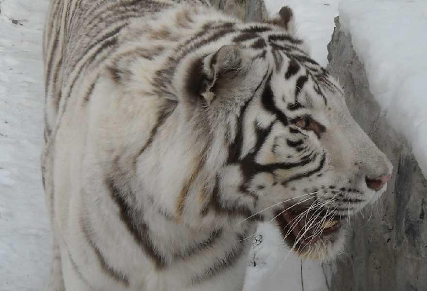Бенгальский тигр белая вариация - Panthera tigris tigris var.alba  (фото 18)