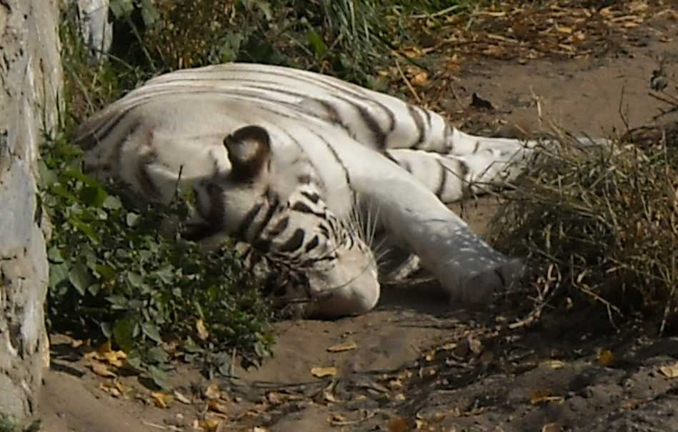 Бенгальский тигр белая вариация - Panthera tigris tigris var.alba  (фото 19)