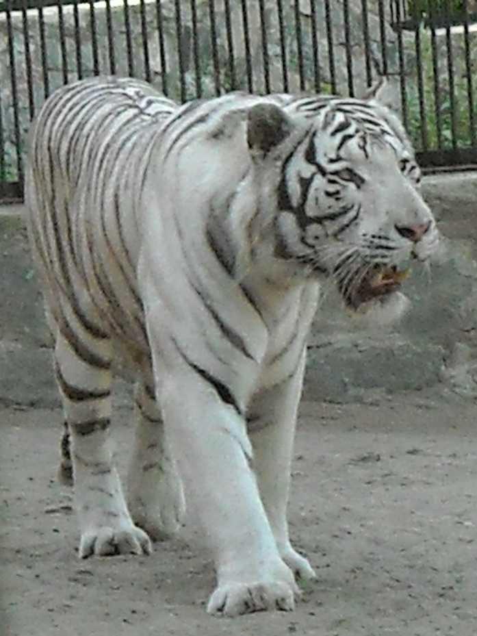 Бенгальский тигр белая вариация - Panthera tigris tigris var.alba  (фото 21)