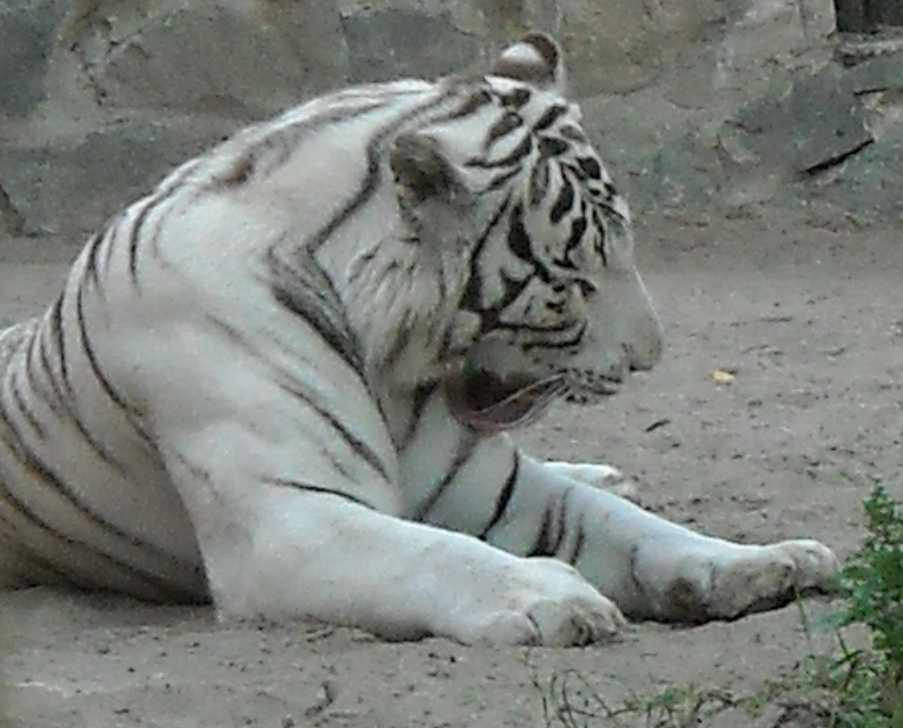 Бенгальский тигр белая вариация - Panthera tigris tigris var.alba  (фото 22)