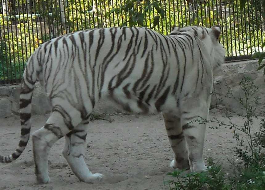Бенгальский тигр белая вариация - Panthera tigris tigris var.alba  (фото 24)