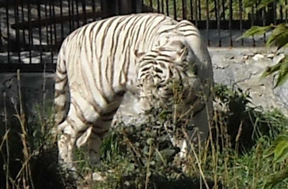 Бенгальский тигр белая вариация - Panthera tigris tigris var.alba  (фото 26)