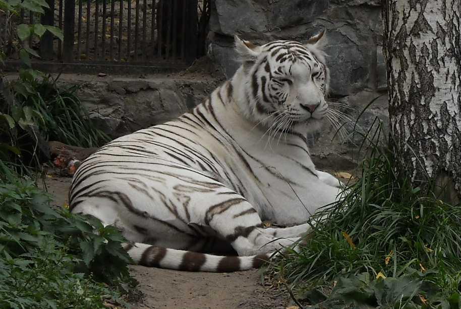 Бенгальский тигр белая вариация - Panthera tigris tigris var.alba  (фото 27)