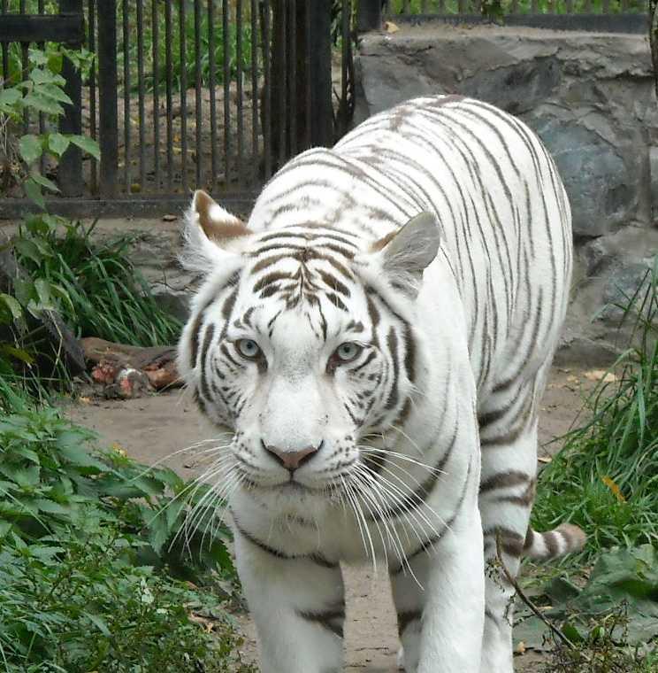 Бенгальский тигр белая вариация - Panthera tigris tigris var.alba  (фото 28)