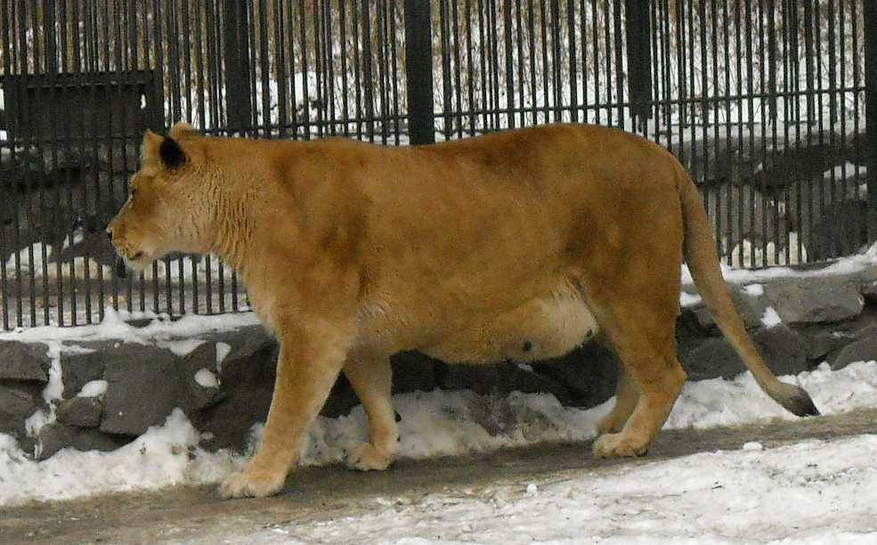 Африканский лев - Panthera leo  (фото 35)