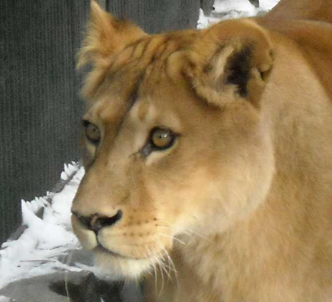 Африканский лев - Panthera leo  (фото 37)