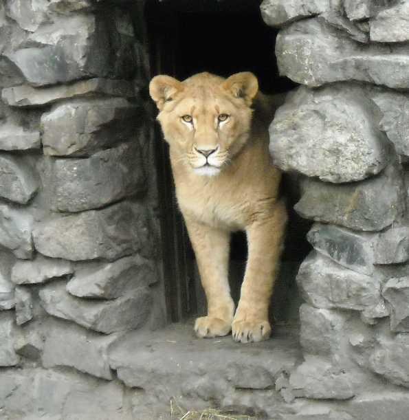 Африканский лев - Panthera leo  (фото 38)