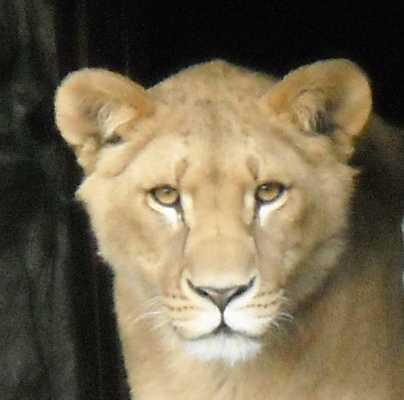 Африканский лев - Panthera leo  (фото 39)