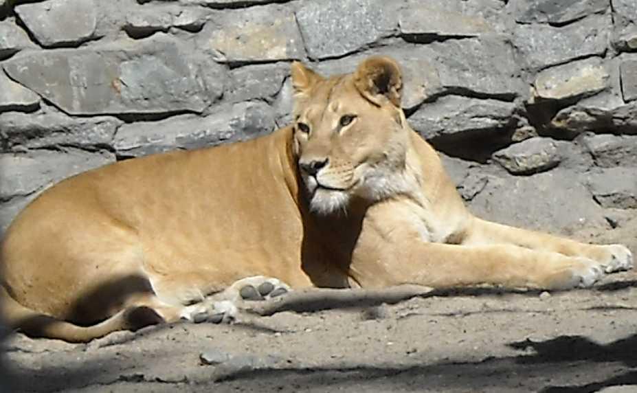 Африканский лев - Panthera leo  (фото 40)