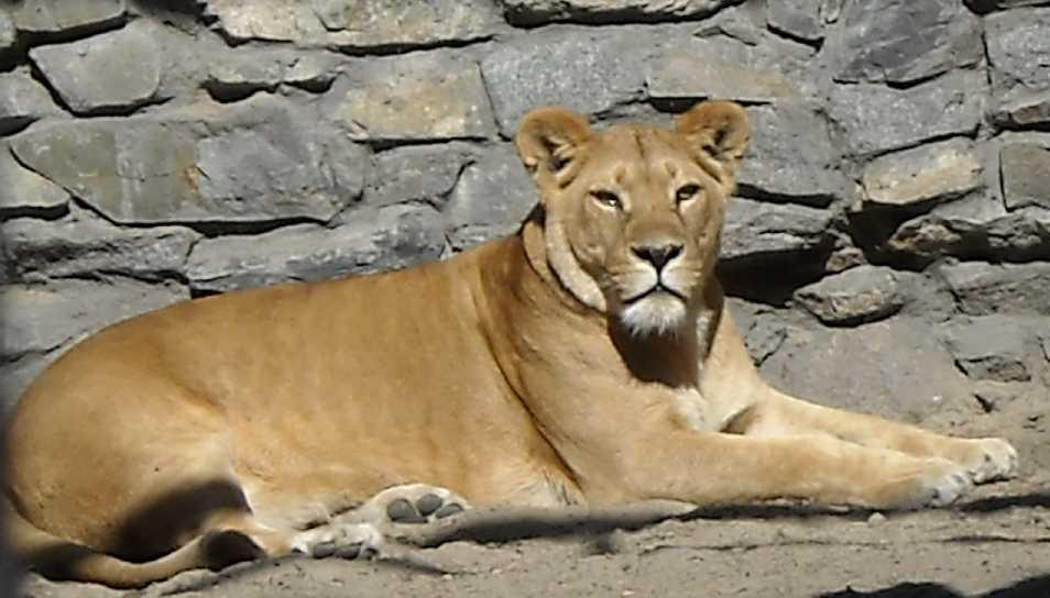 Африканский лев - Panthera leo  (фото 41)