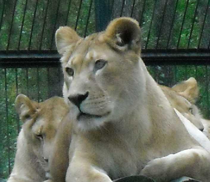 Африканский лев - Panthera leo  (фото 43)