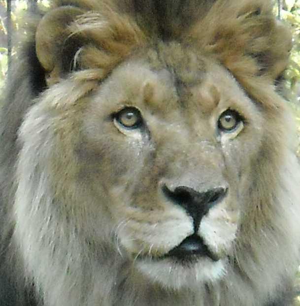 Африканский лев - Panthera leo  (фото 46)