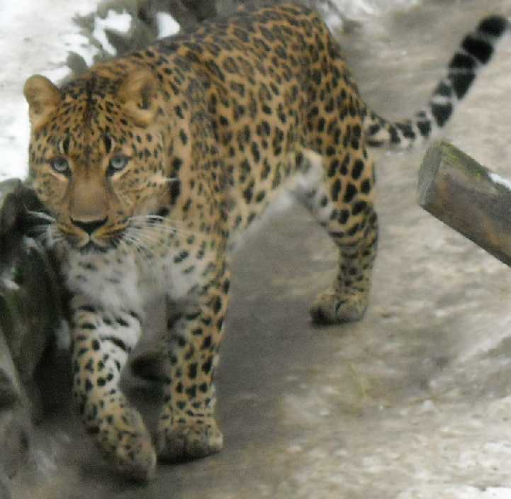 Дальневосточный леопард - Panthera pardus orientalis  (фото 48)