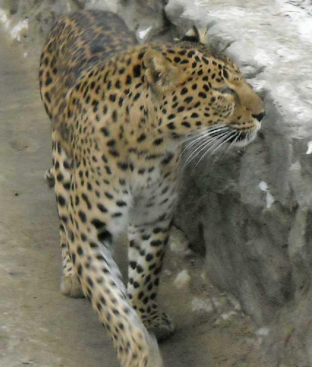 Дальневосточный леопард - Panthera pardus orientalis  (фото 49)