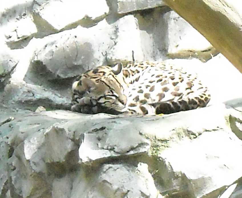 Дальневосточный леопард - Panthera pardus orientalis  (фото 50)