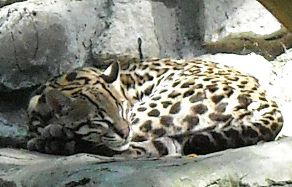 Дальневосточный леопард - Panthera pardus orientalis  (фото 51)