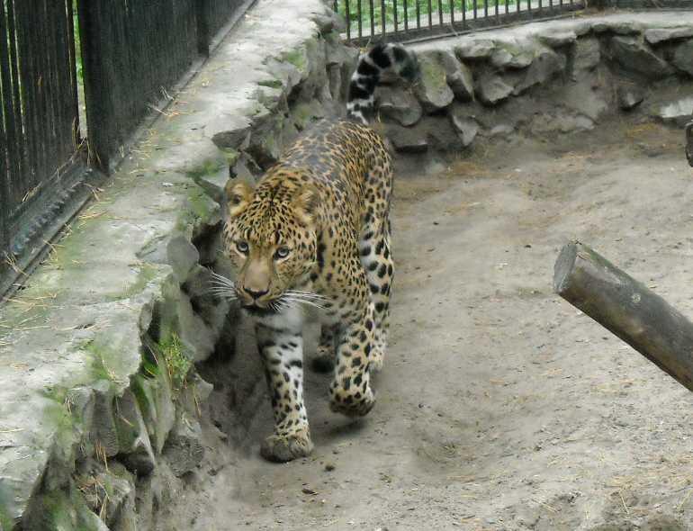 Дальневосточный леопард - Panthera pardus orientalis  (фото 52)