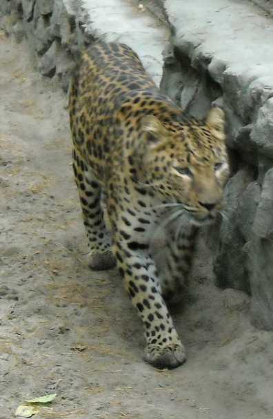 Дальневосточный леопард - Panthera pardus orientalis  (фото 53)