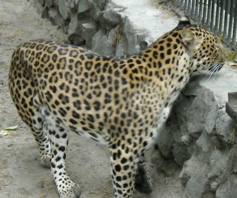 Дальневосточный леопард - Panthera pardus orientalis  (фото 54)