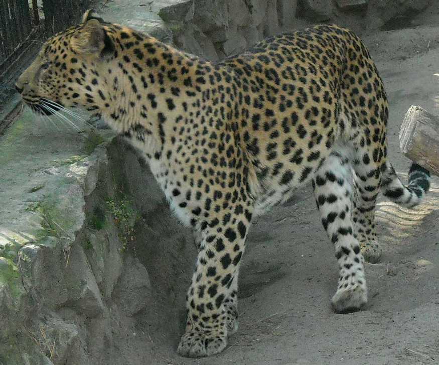 Дальневосточный леопард - Panthera pardus orientalis  (фото 55)