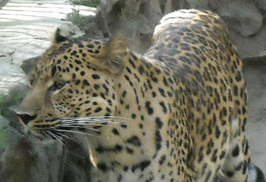 Дальневосточный леопард - Panthera pardus orientalis  (фото 56)