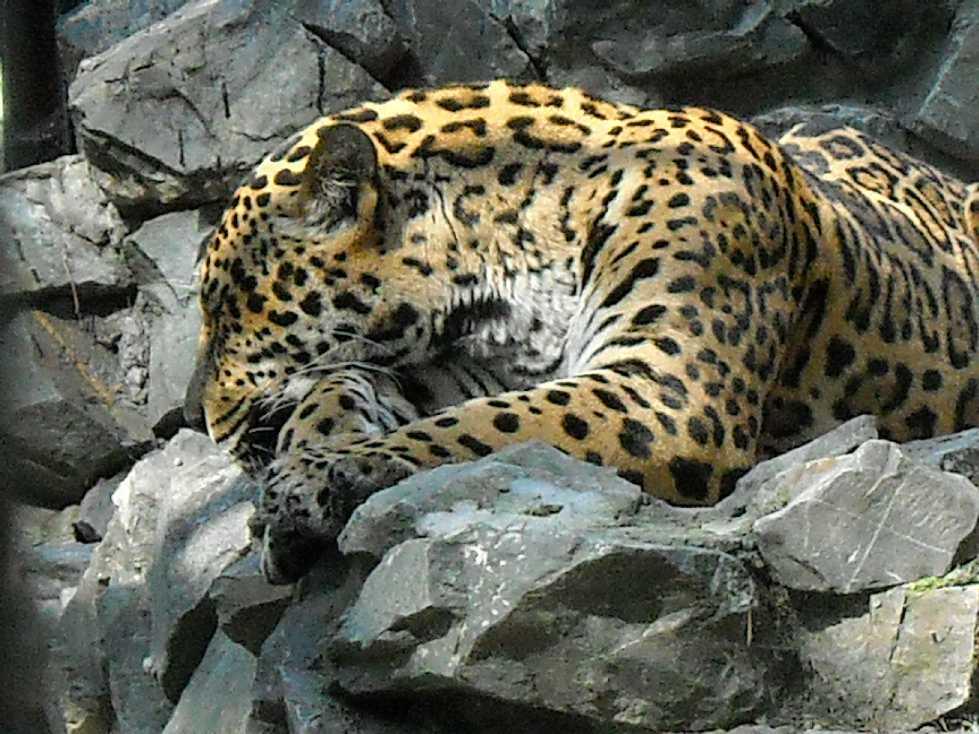 Дальневосточный леопард - Panthera pardus orientalis  (фото 58)