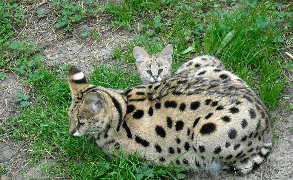 Сервал - Felis serval  (фото 60)