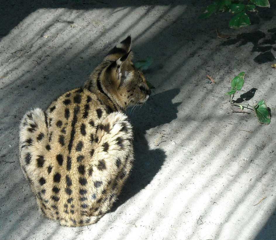 Сервал - Felis serval  (фото 61)