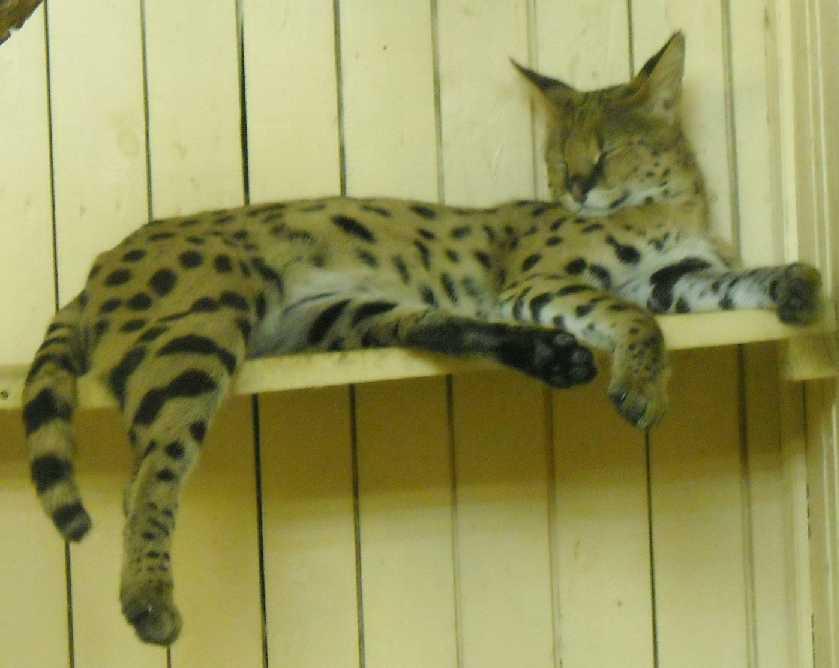 Сервал - Felis serval  (фото 62)