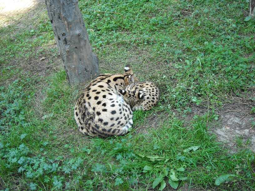 Сервал - Felis serval  (фото 63)