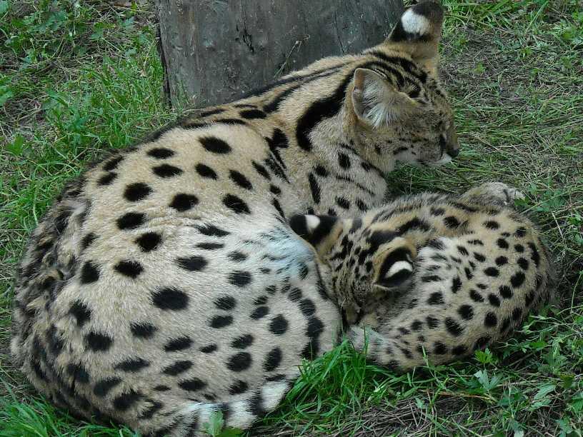 Сервал - Felis serval  (фото 65)