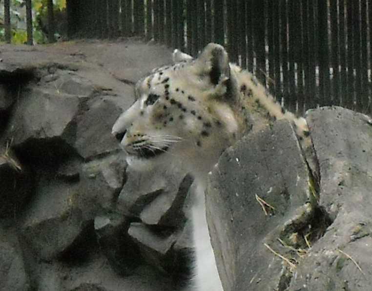 Снежный барс - Panthera uncia  (фото 66)
