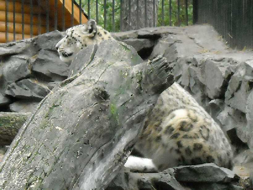 Снежный барс - Panthera uncia  (фото 67)