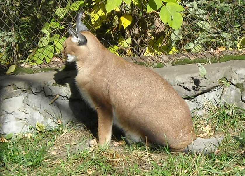 Каракал - Felis caracal  (фото 77)