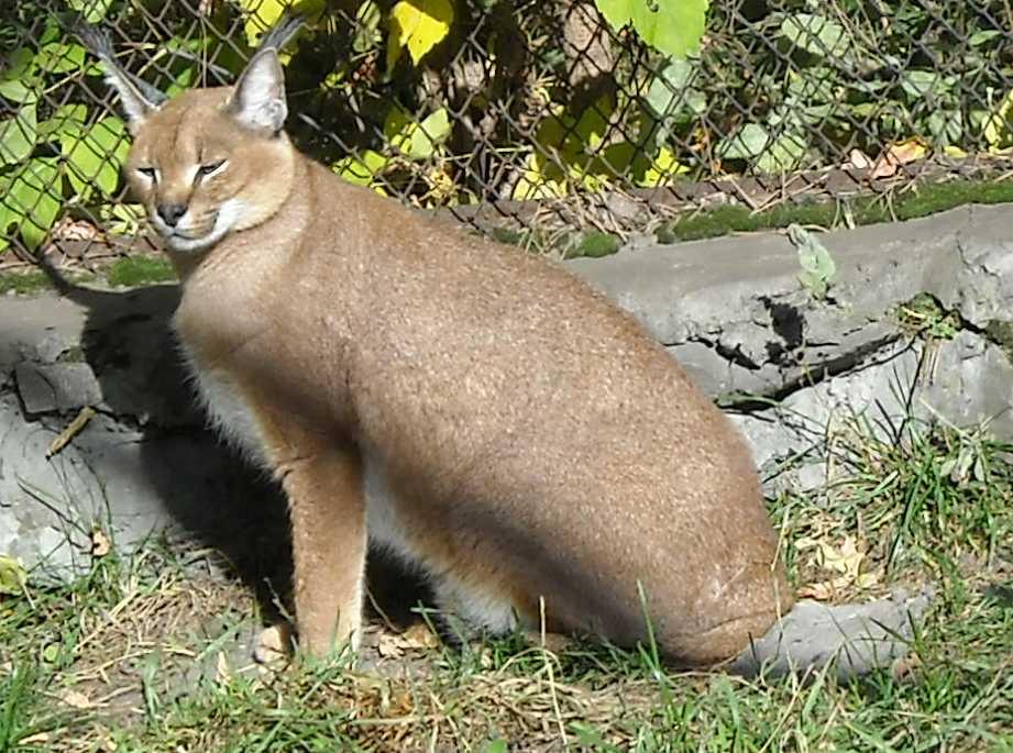 Каракал - Felis caracal  (фото 78)
