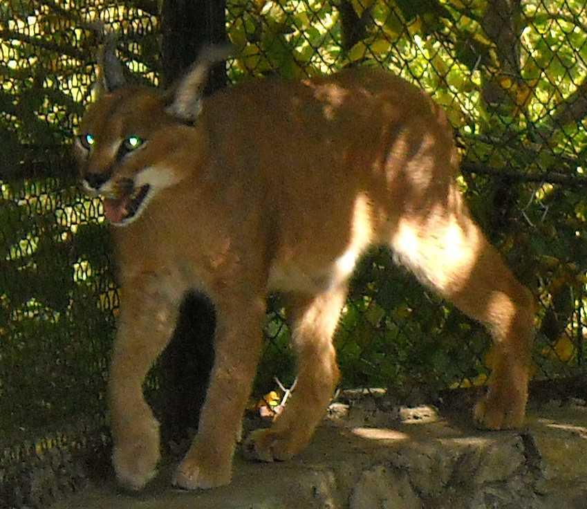 Каракал - Felis caracal  (фото 79)