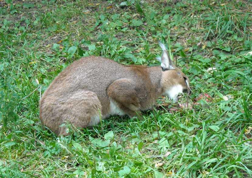 Каракал - Felis caracal  (фото 82)