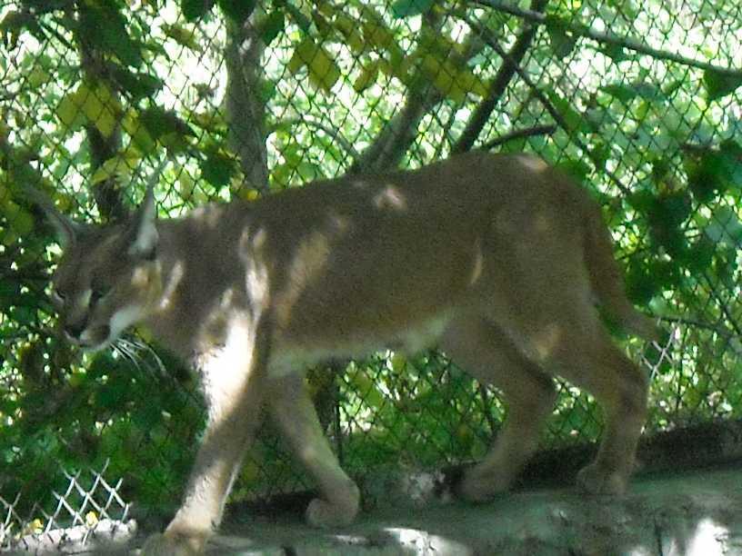 Каракал - Felis caracal  (фото 83)