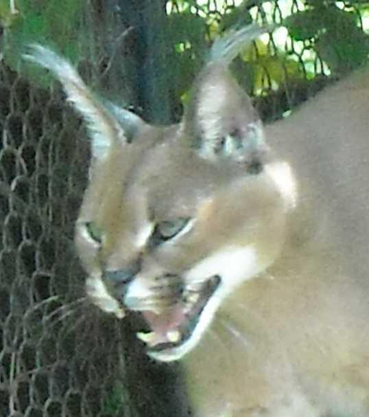 Каракал - Felis caracal  (фото 84)