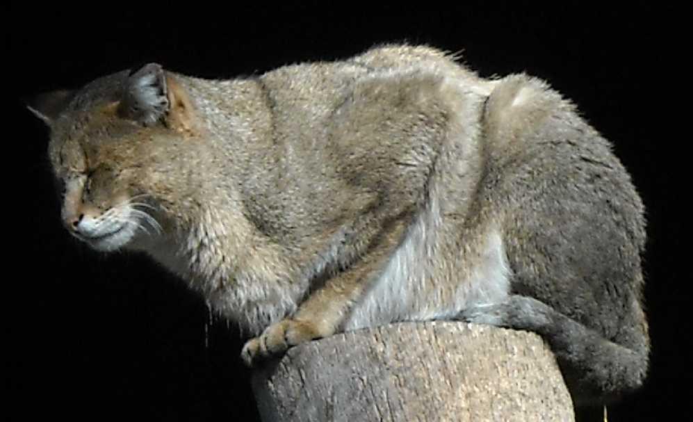 Камышовый кот - Felis chaus  (фото 87)