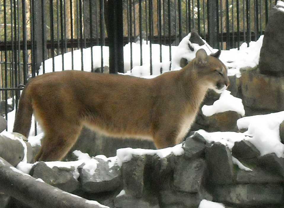 Пума - Felis concolor  (фото 91)
