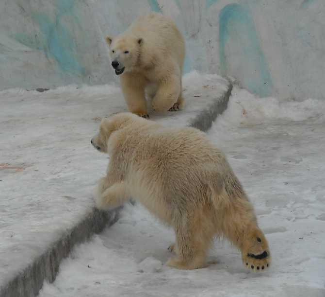 Белый медведь - Ursus maritimus  (фото 113)