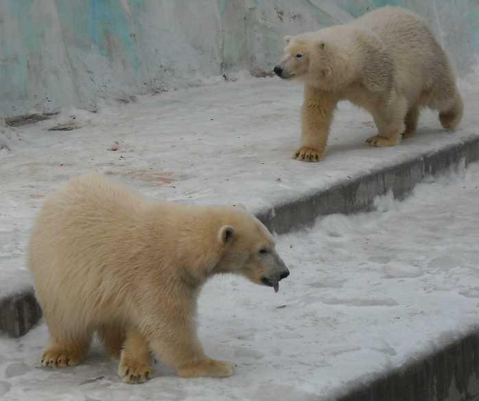 Белый медведь - Ursus maritimus  (фото 114)