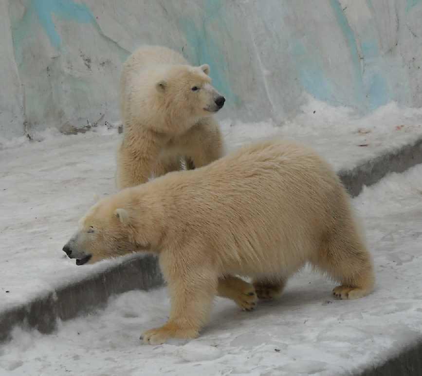 Белый медведь - Ursus maritimus  (фото 115)